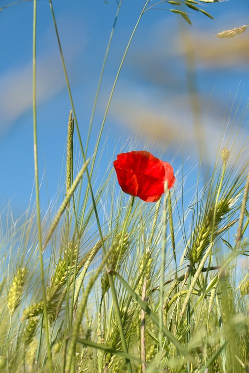 The red poppy is an example of living in high definition as a highly sensitive purpose