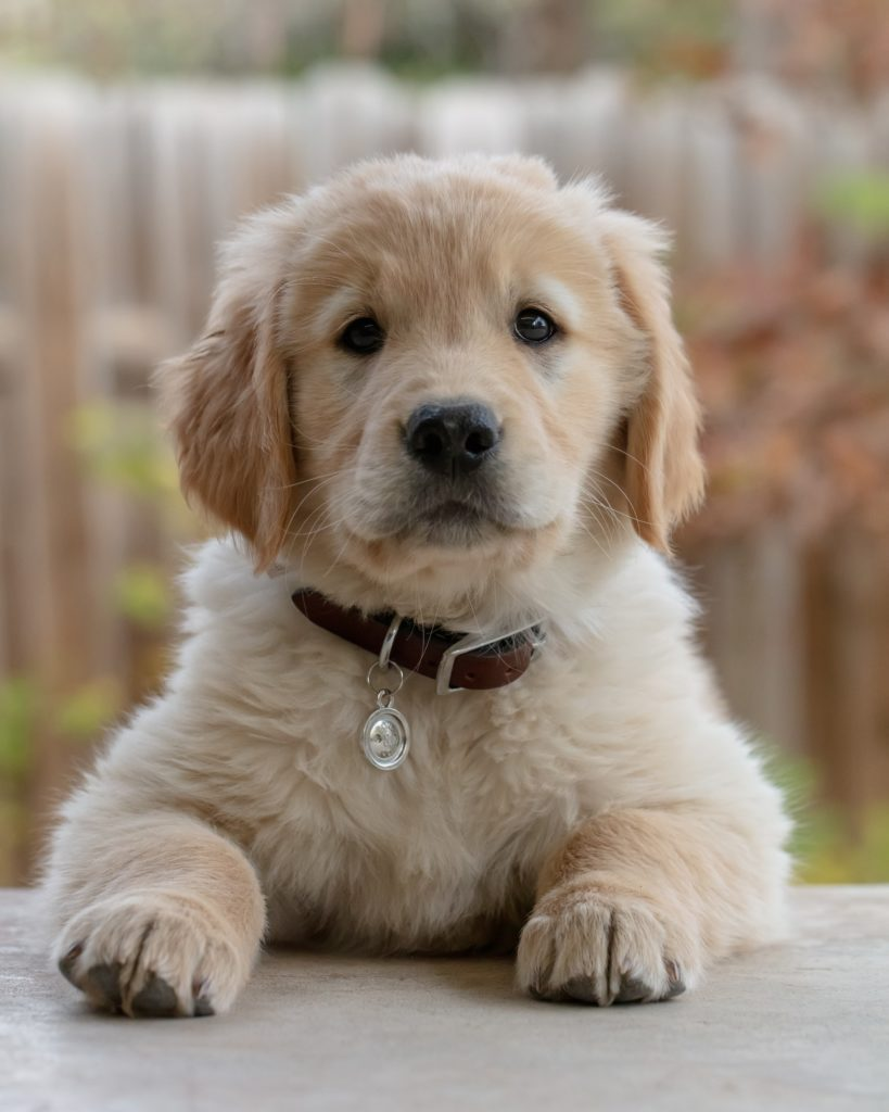 A golden retriever puppy with a serious expression, as if she is wondering why you would have negative body image