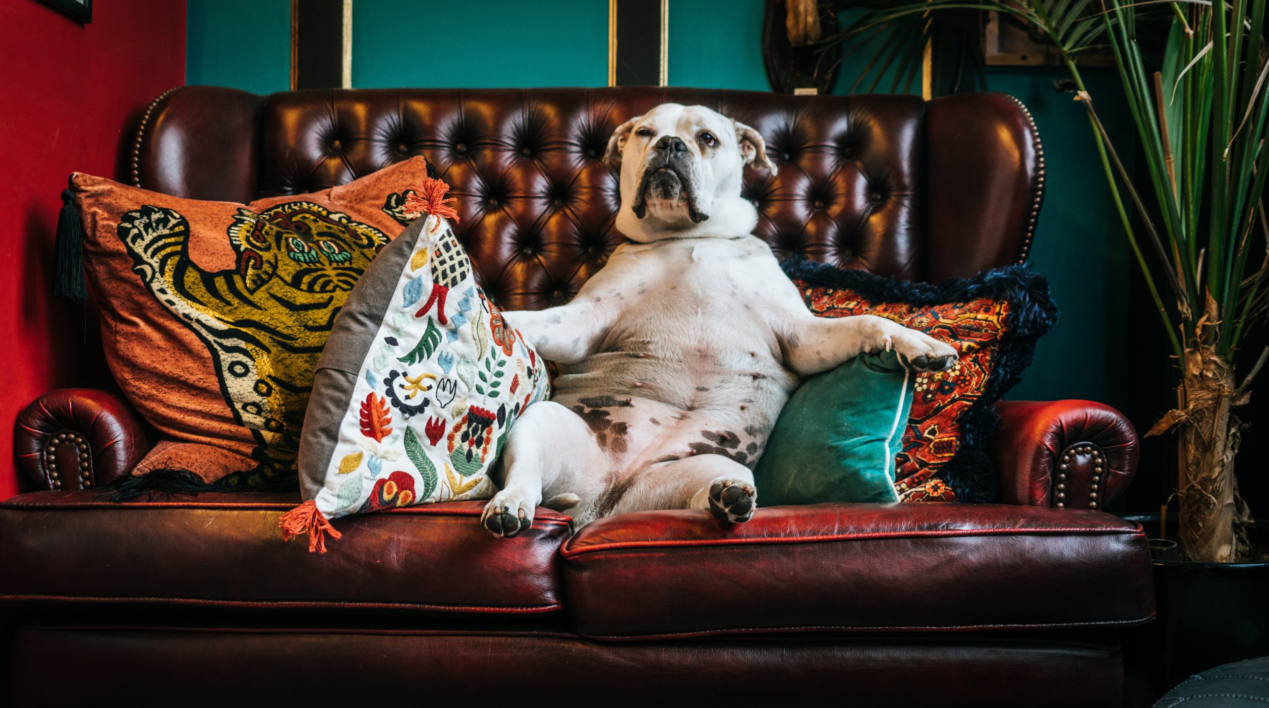 A dog sitting on a leather sofa appearing like he is feeling depressed or anxious and is looking for what to do